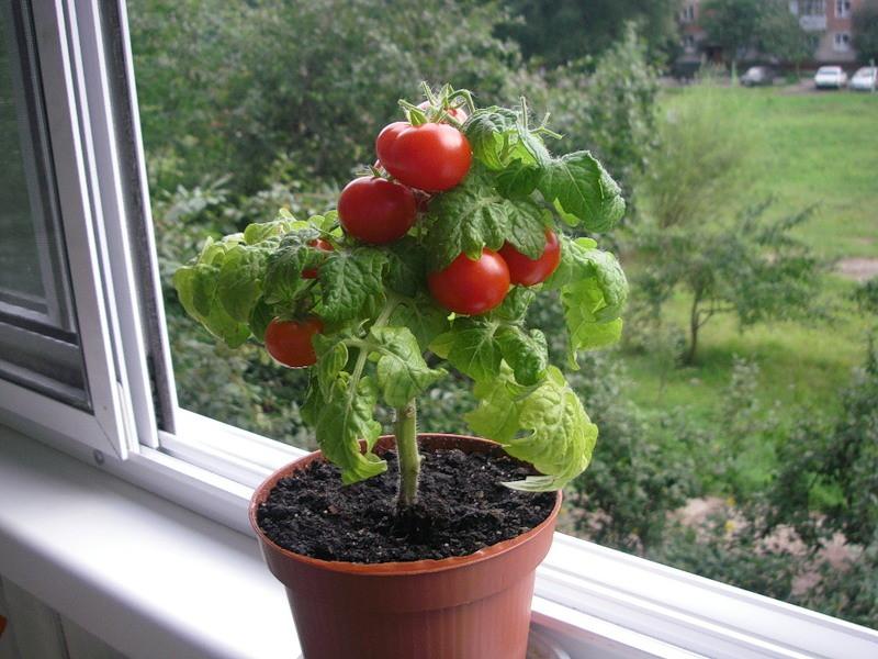 Помидоры балконное чудо выращивание дома зимой 69