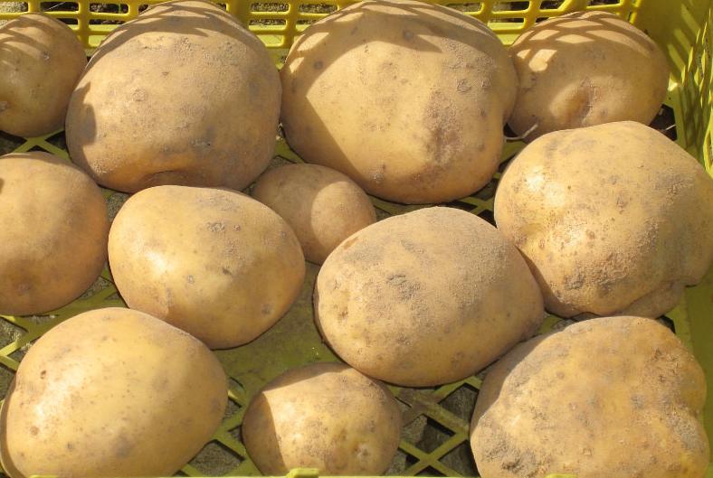 Сорт нандина картофель