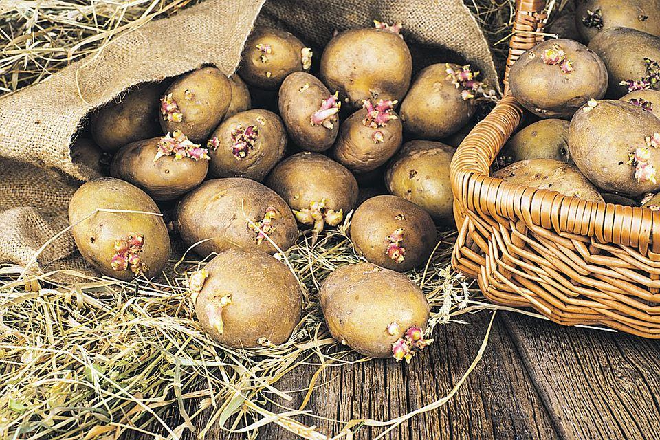 Как сажают картошку в подмосковье 656