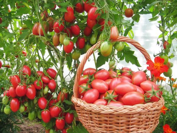 Лучшие сорта томатов устойчивые к фитофторе