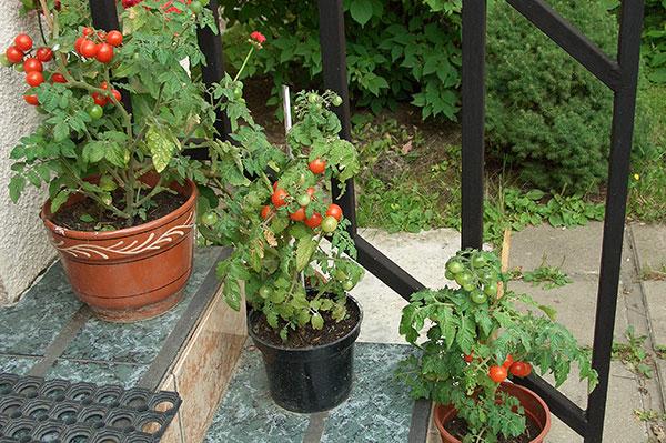 """Томат """"балконное чудо"""": как выращивать, характеристика и опи."""
