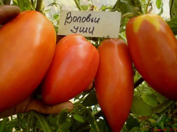 Томат Воловьи уши: характеристика и описание сорта, урожайность с фото