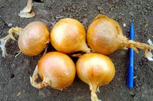 Лук халцедон описание сорта выращивание из семян