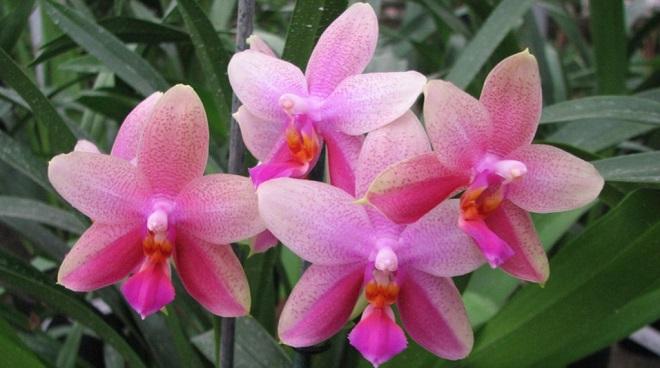 Орхидея Фаленопсис Лиодоро - уход за цветком в домашних условиях