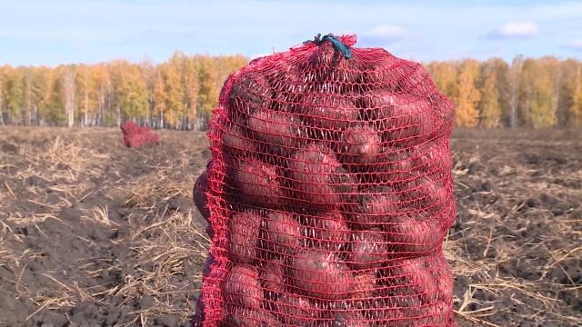 Картофель «Рябинушка» - описание сорта