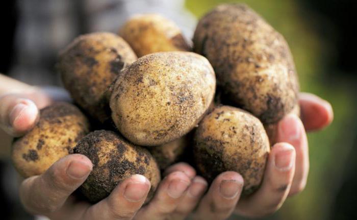 Картофель елизавета описание и характеристика сорта урожайность с фото