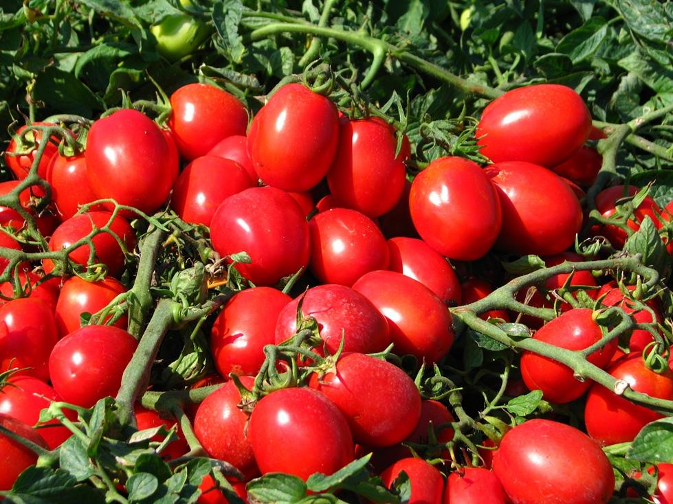 поздние сорта томатов для теплиц в подмосковье