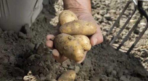 Когда по лунному календарю в 2021 году копать картошку