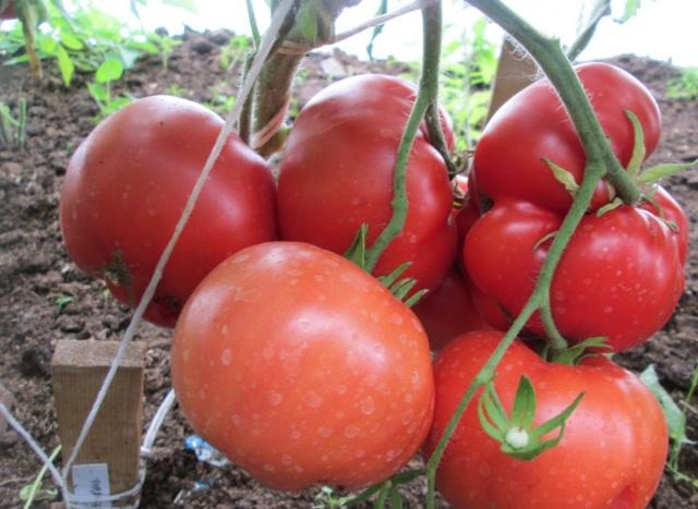 Описание, характеристика, посев на рассаду, подкормка, урожайность, фото, видео и самые распространенные болезни томатов сорта «Бабушкино».