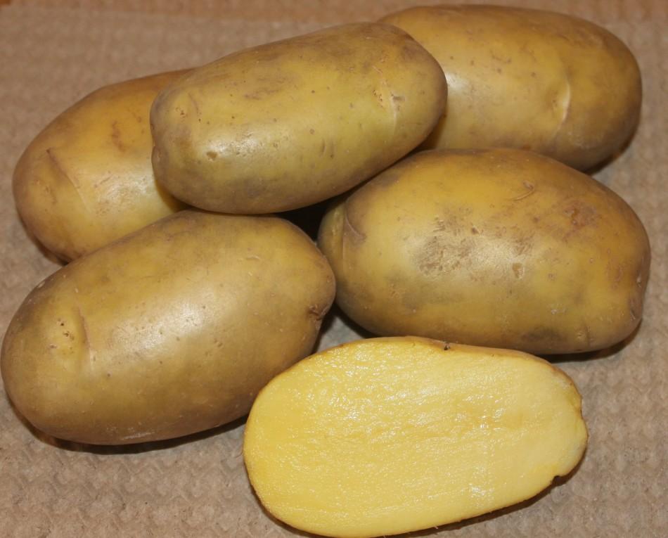картофель голубизна описание сорта фото диву даёшься сколько
