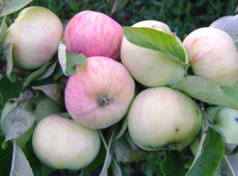 Выращивание яблони Московская грушовка в вашем саду