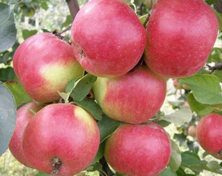 Сорт яблони Жигулевское, описание, характеристика и отзывы, а также особенности выращивания данного сорта