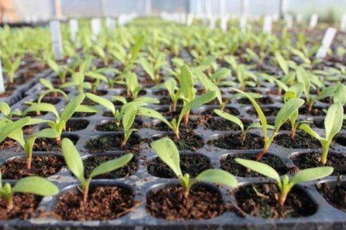 Изображение - Выращивание свеклы в открытом грунте posadka-rassadi-svekli-3-500x333