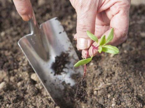 Изображение - Выращивание свеклы в открытом грунте posadka-rassadi-svekli-4-467x350