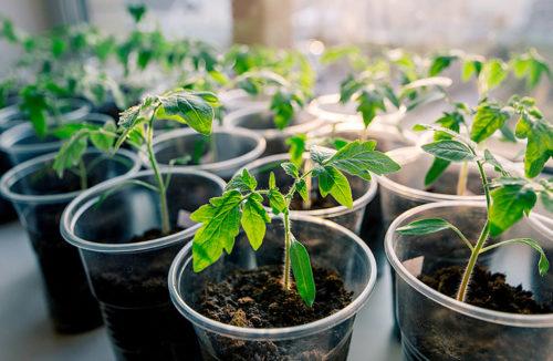 Когда сажать помидоры на рассаду в 2019 году по лунному календарю - благоприятное время для посева