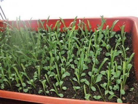 Выращивание гацании из семян: благоприятные дни для посева
