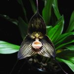 orhideja drakula