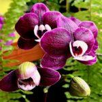orhideja kaoda