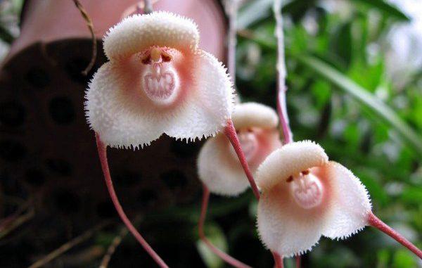 orhideja obezjanja mordochka