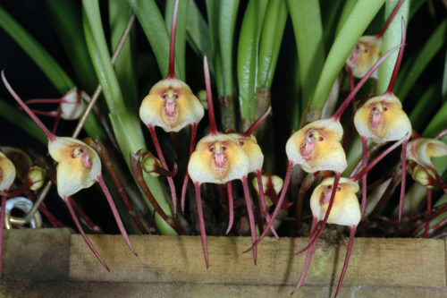 orhideya-drakula-opisanie