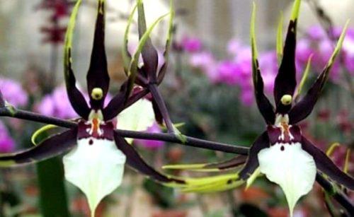 brassia temnaja