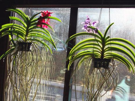 kak rastet orhideja vanda