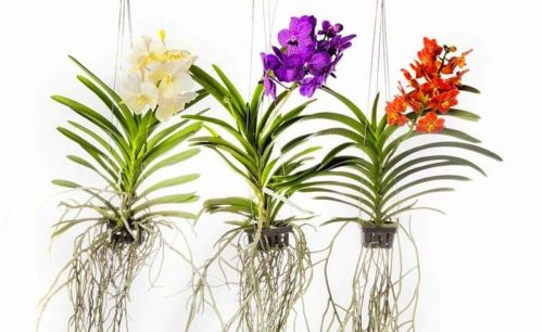 kak vygljadit orhideja vanda