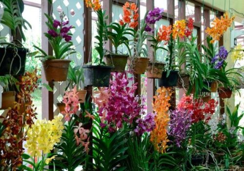orhidei-vanda-vidy