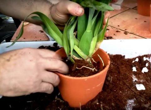 orhideja brassija podkormka