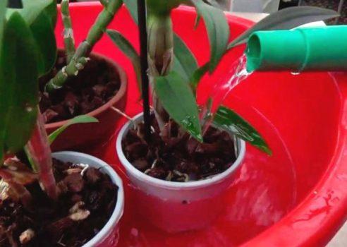 orhideja brassija poliv