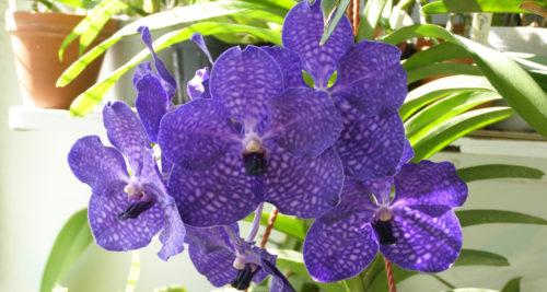 orhideja vanda golubaja