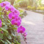 Садовая Охридея
