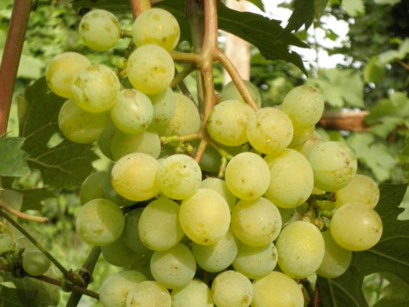 желтый виноград
