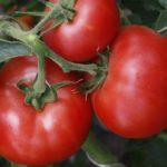 Лучшие сорта томатов для теплицы из поликарбоната в средней полосе России (фото и описание)