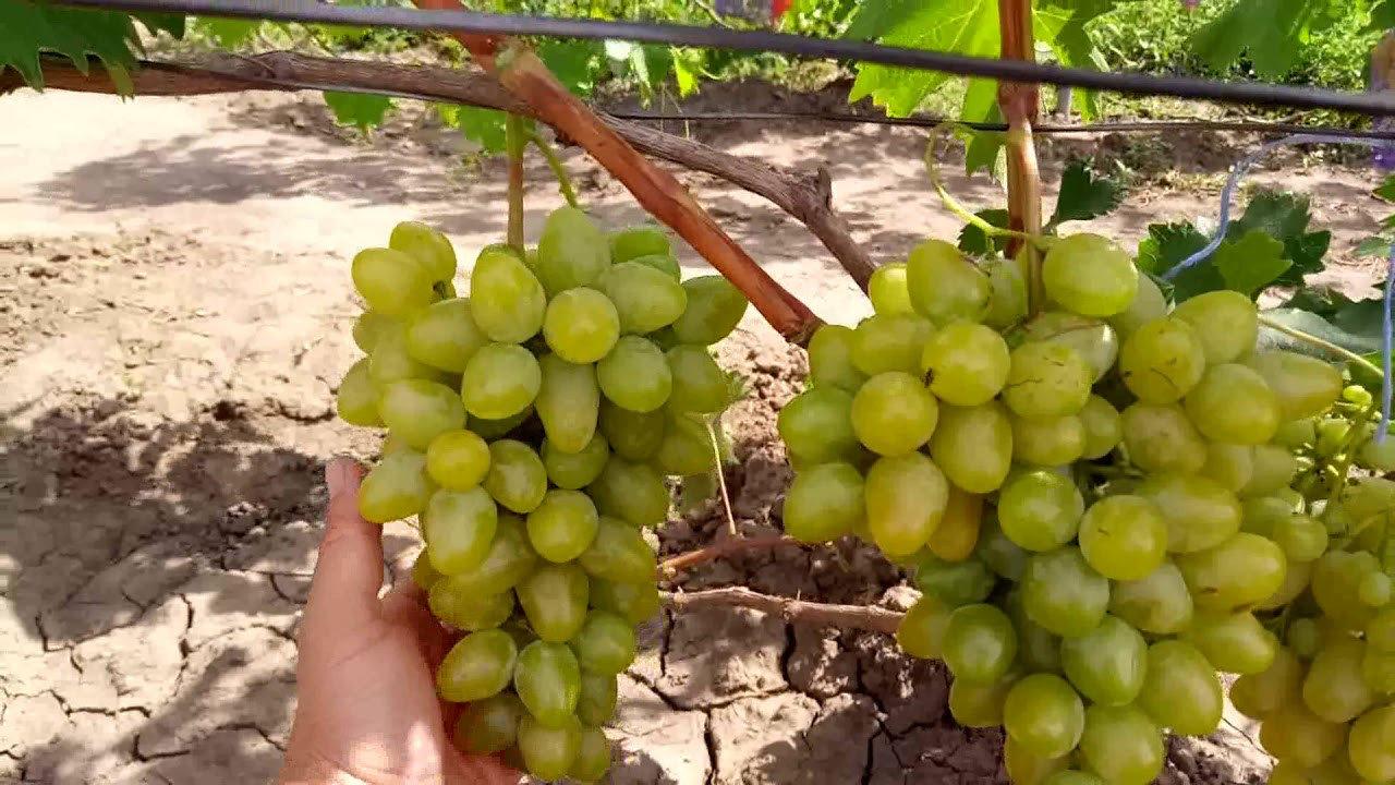 виноград Хризолит