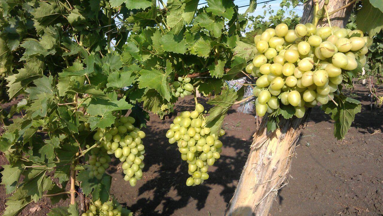 фото винограда новая аркадия наше время можно