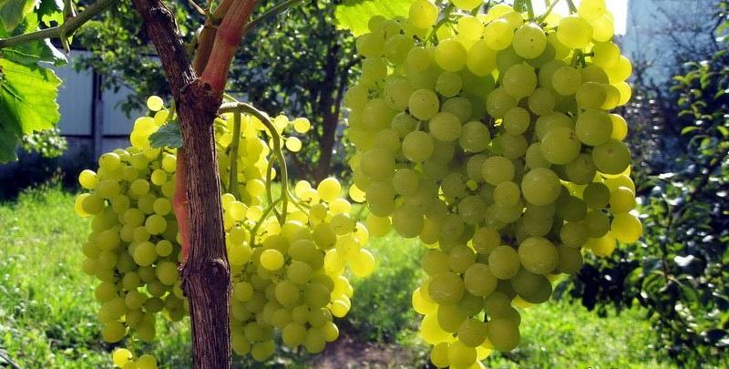 большие грозди