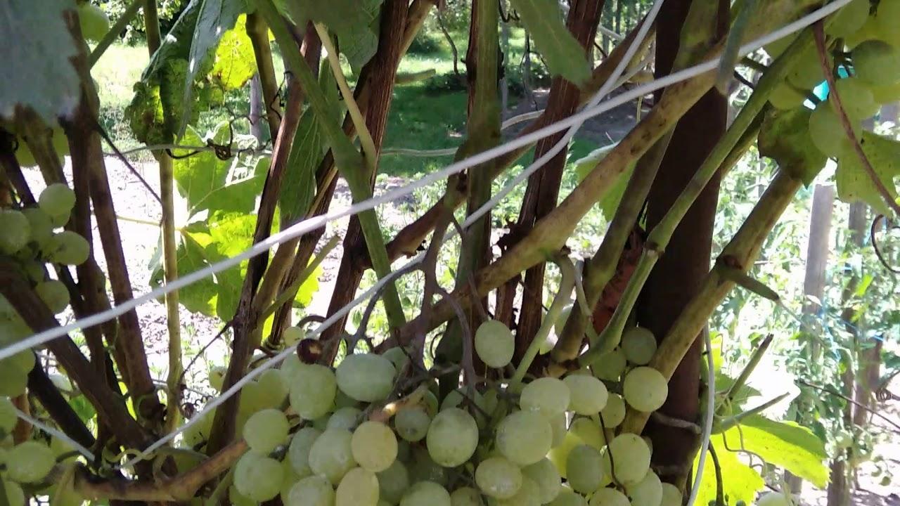 соцветия винограда