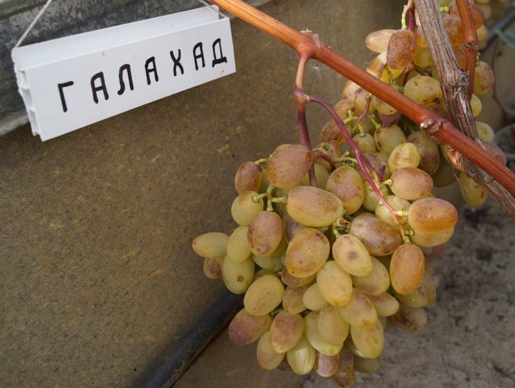 виноград галахард