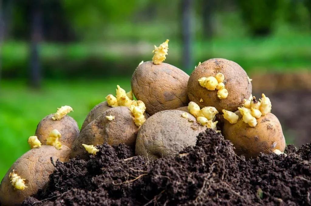 поделилась как начинает расти картошка фото как было