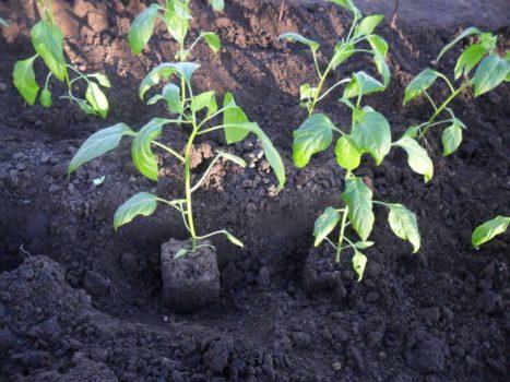 Сроки высаживания рассады