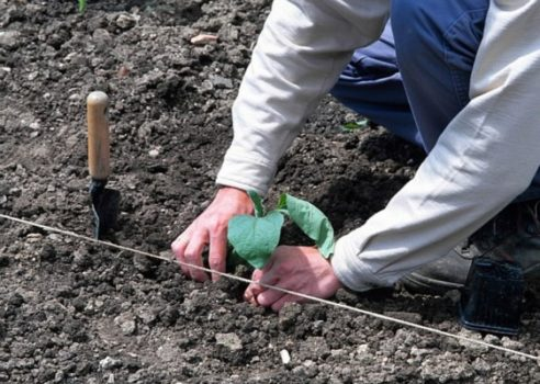 как сажать баклажаны в грунт