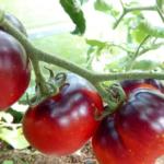 Какие сорта томатов от коллекционеров стоит посадить в 2020 году