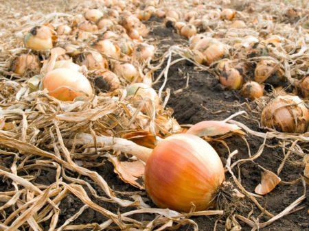 Когда убирать лук посаженный под зиму в 2020 году: благоприятные дни, правила уборки урожая и советы по хранению