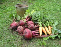 Когда убирать морковь и свеклу в Подмосковье в 2020 году: благоприятные дни для работ, влияние лунных фаз и советы по хранению