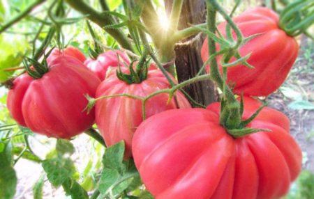 томат инжир розовый описание сорта фото отзывы