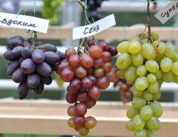 Лучшие сорта винограда для средней полосы России с фото и описанием