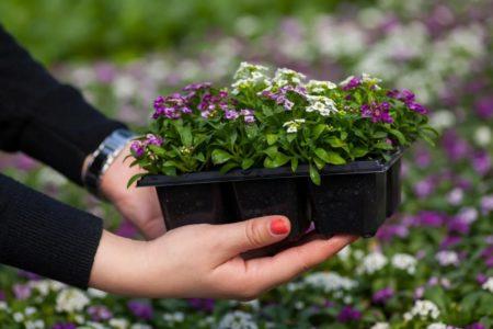 Когда сажать цветы на рассаду