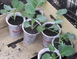 Когда сажать капусту брокколи на рассаду