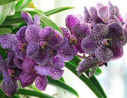 orhideja vanda